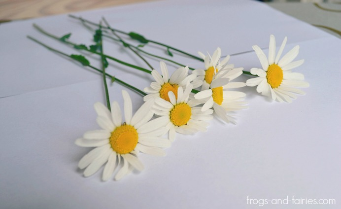 Color Changing Oxeye Daisies