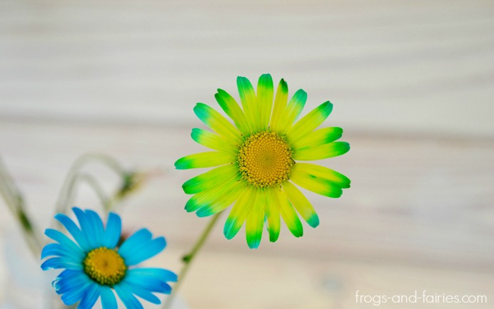 Color Changing Oxeye Daisies - Frogs and Fairies