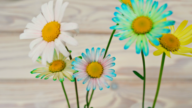 Photo of Color Changing Oxeye Daisies